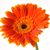Какие цветы лучше дарить на день влюбленных? - Герберы хороший вариант.