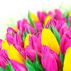 Какие цветы дарить на 14 февраля? Тюльпаны хороший вариант.